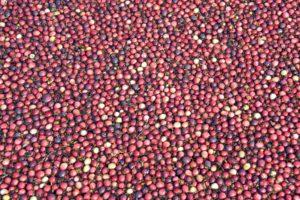 Nantucket Cranberry
